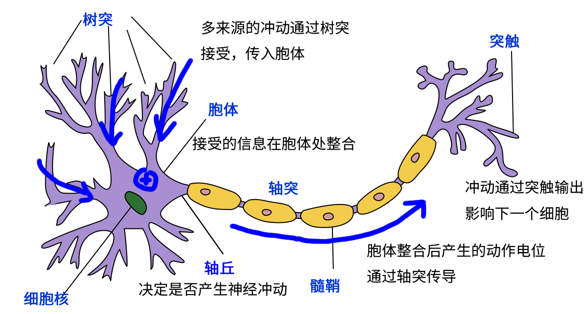 ../../_images/real_neuron.png